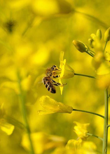 mehiläinen rypsissä